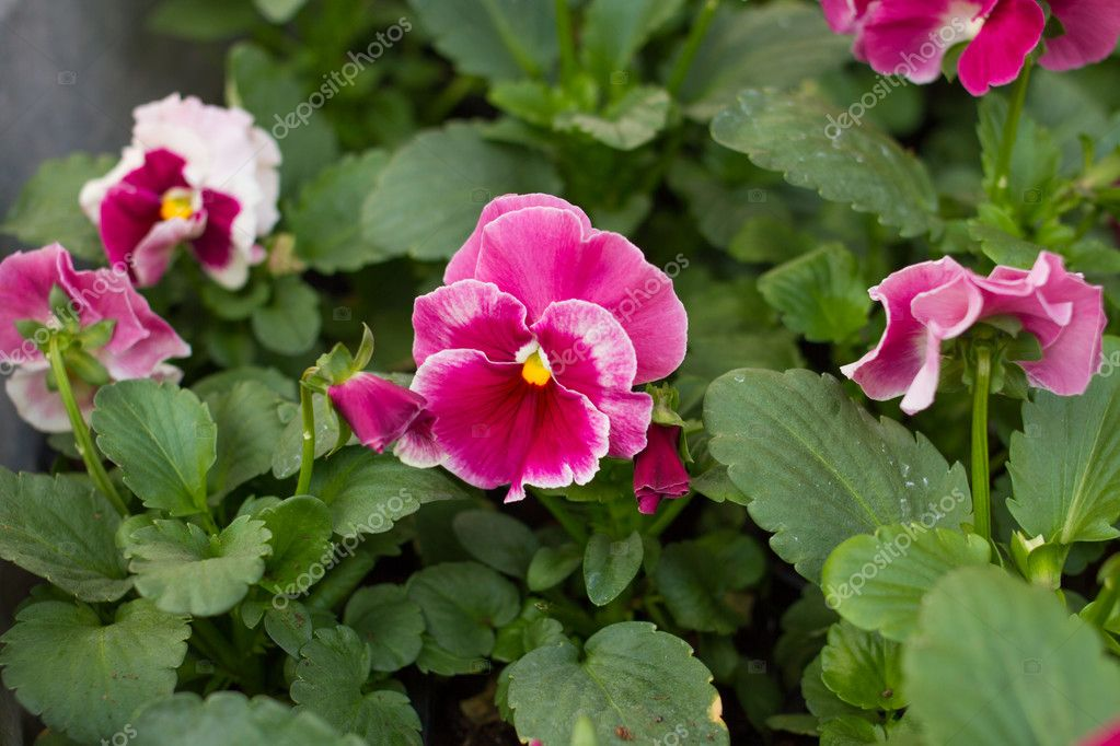 Pink pansy flower stock photo ctvvelve 126459334 pink pansy flower stock photo mightylinksfo Choice Image