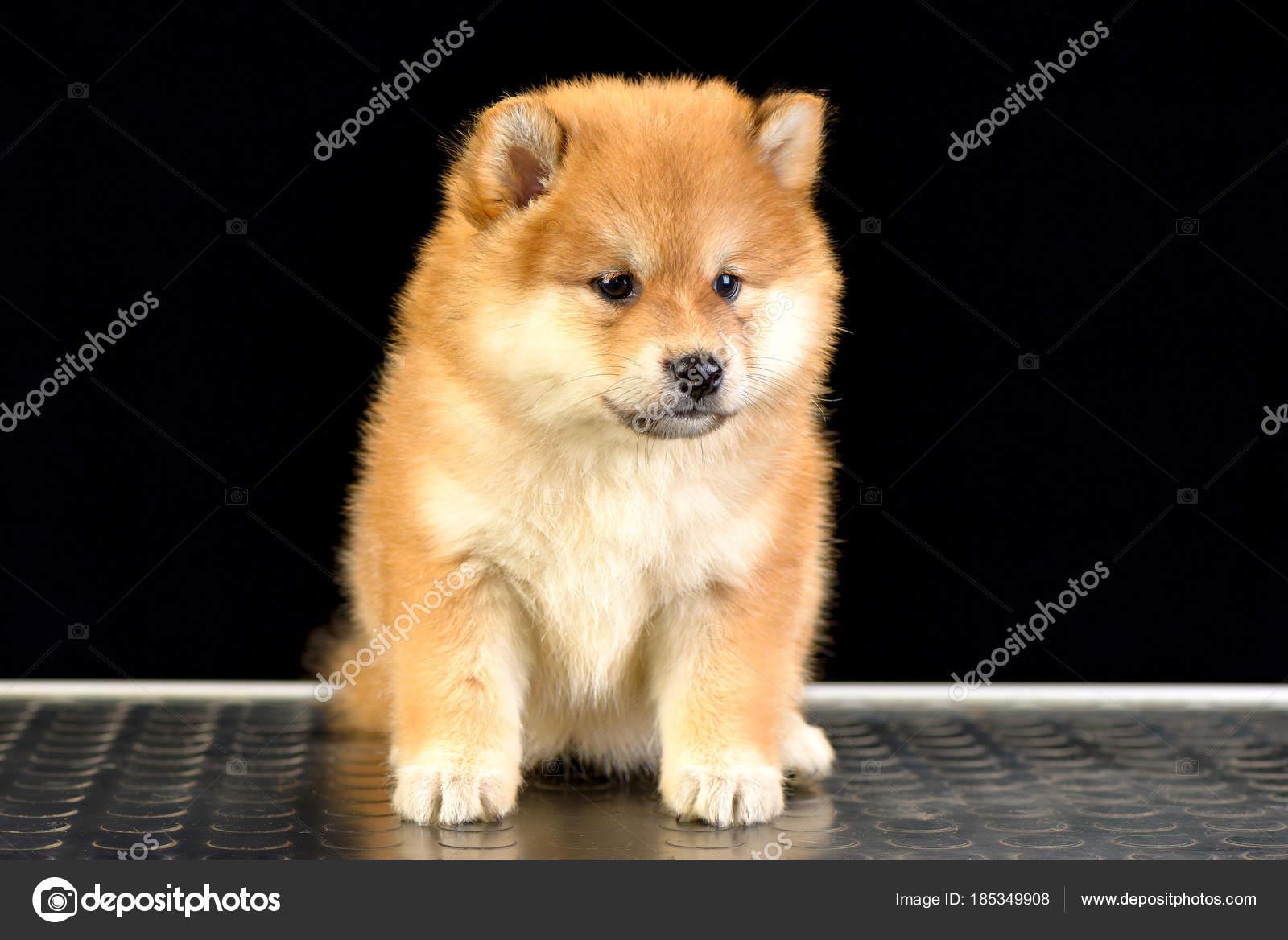 shiba inu puppy stock photo imagens by 185349908