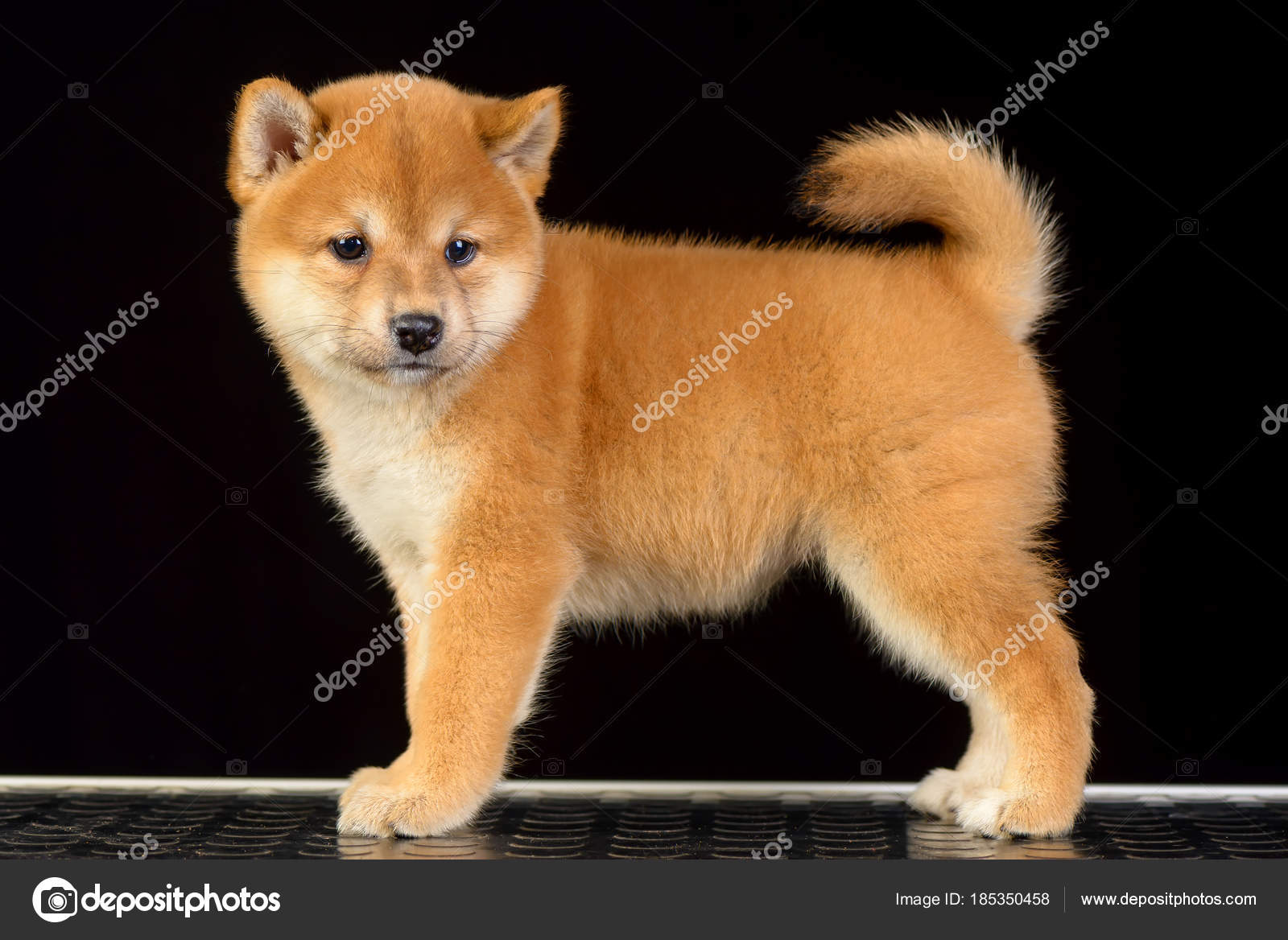 shiba inu puppy stock photo imagens by 185350458