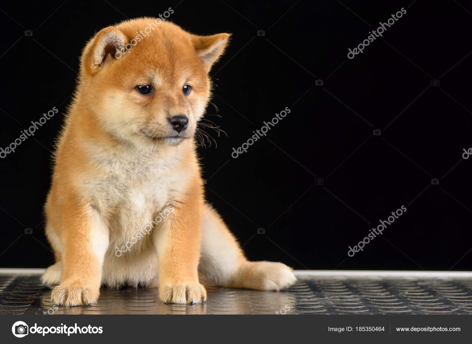 Shiba Inu Puppy Stock Photo C Imagens By 185350464
