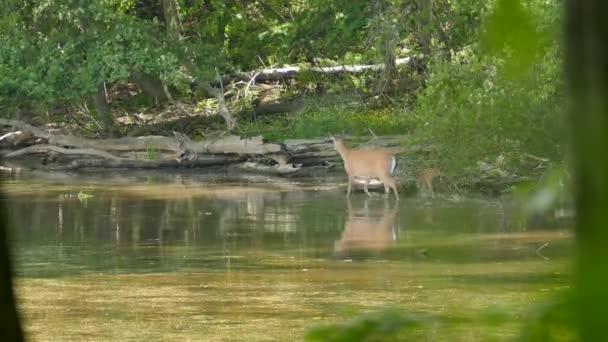 Fawn játszik felzárkózás felnőtt szarvas, miközben fut a sekély vízben a vadonban