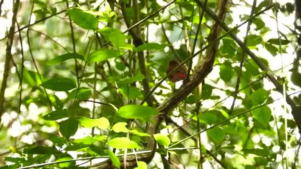 Maroon bird jumping on large liana in exotic jungle