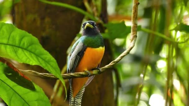 Krásný exotický pták s oranžovou hrudí houpající se na lianě