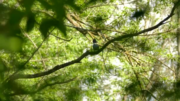 Pás Kingfisher v Kanadě sedí a pohybující se hlava před odletem
