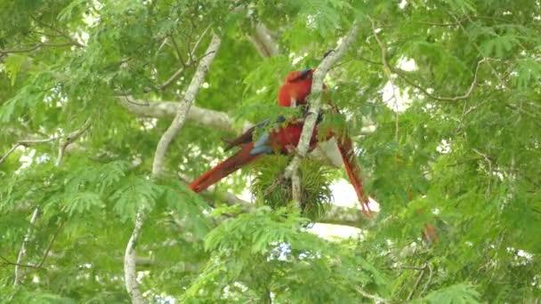 Pár Scarlet Macawové, pomáhající si navzájem vedle přerostlého ženicha.