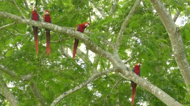 Extended shot of four striking Scarlet Macaw parrots slightly moving
