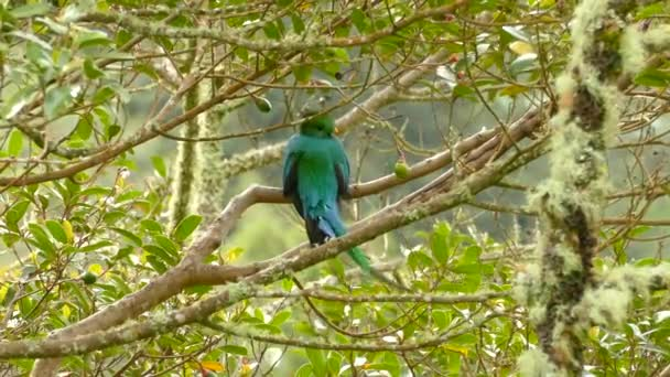 Vítr fouká přes dlouhoocasé peří ze zeleného Quetzal exotického ptáka