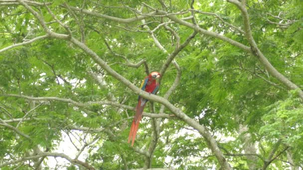 Single Scarlet Macaw papoušek tření jeho velký hustý zobák na větvi