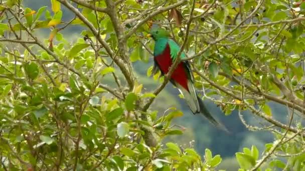 Neuvěřitelný Quetzal pták s červeným a zeleným duhově zářícím peřím