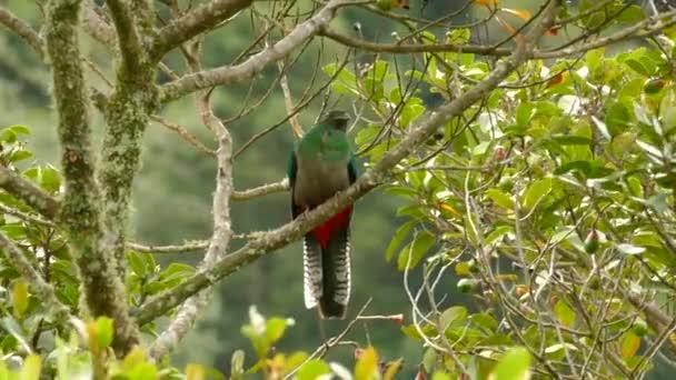 Vítr fouká do samice Žhnoucího Quetzalova peří v divočině