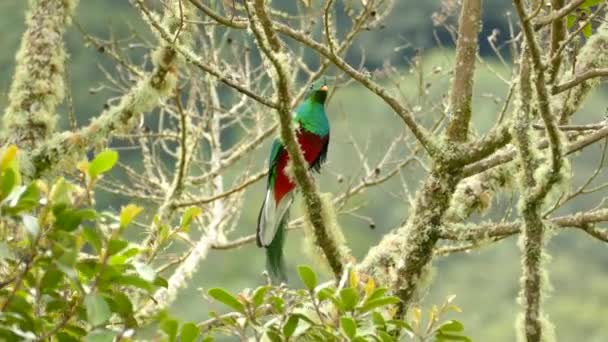 Beautiful clear shot of male Resplendent Quetzal in Central America