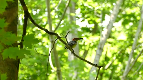Double shot of Red-Breasted Woodpecker in the forest with bug in its mouth