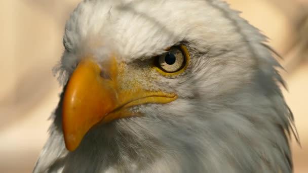 Az amerikai sas arcának szélsőséges közelsége balról jobbra fordul.