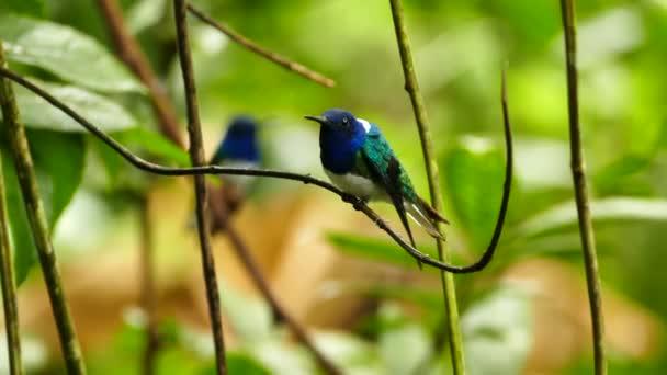 Ülő kolibri egy másik blury madár a háttérben