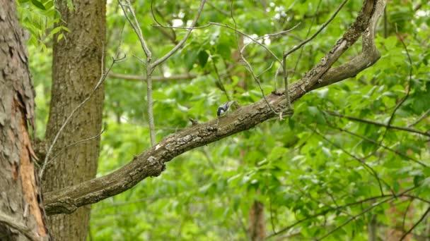Fehér mellű nudli madár, ragadozó szájjal, ágon mozog.