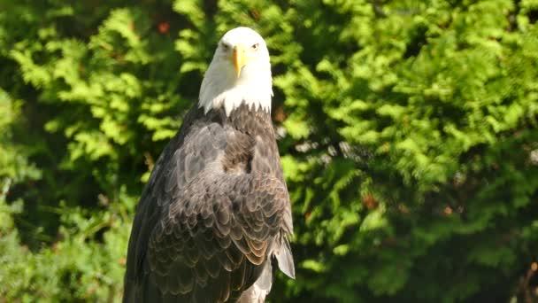 Seitenansicht des Adlers beim Austrocknen seiner geöffneten Flügel unter der Sonne
