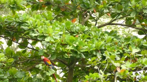 Gyönyörű papagájmadarak sétálnak és táplálkoznak alacsony szintű fán a vadonban