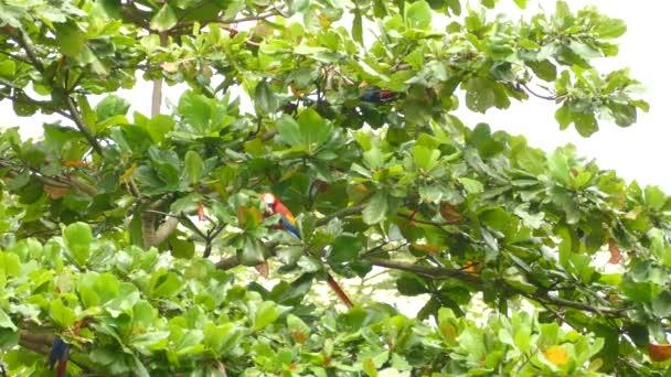 Krátké, střední a široké pohledy papoušků šarlatových Macaw v Kostarice