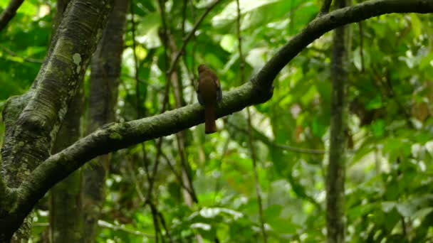 Closeup shot of Trogon + wide shot while it is taking off to fly away