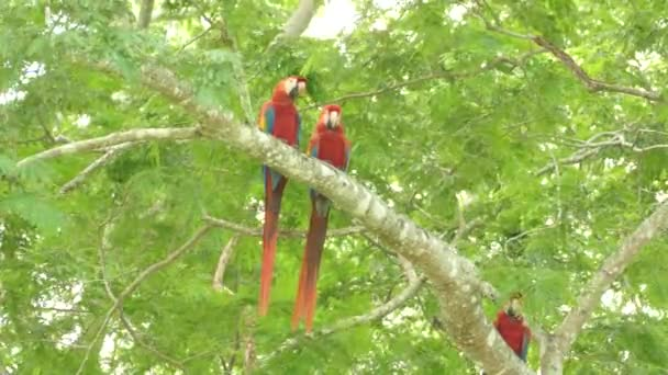 Colourful Scarlet Macaw large birds seen in the wild standing on branch