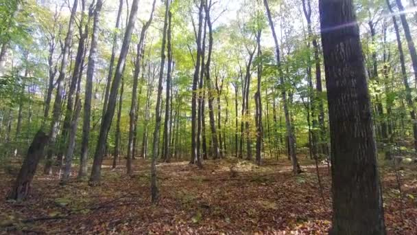 Beautiful fall colors displayed in mature trees filmed by moving camera