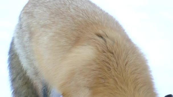 Thick healthy back fur of a red fox in winter with white snowy background