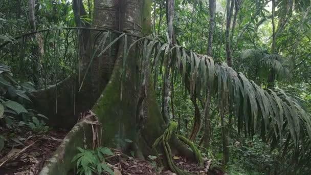 Gimbal se blíží k velké zralé tropické strom v džungli