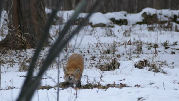 Low camera angle of fox in the distance in winter sniffing the ground
