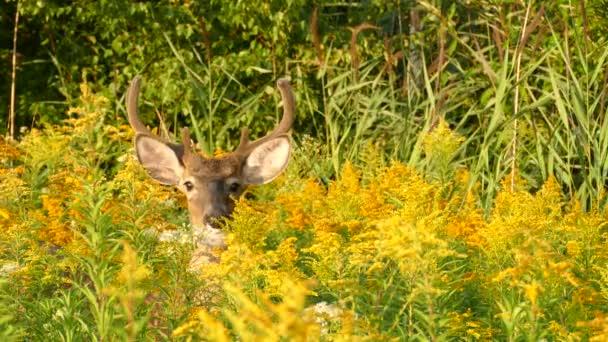 Zvědavý jelen hledí k pozorovateli, než otočí hlavu v Kanadě