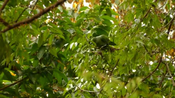 Jižní mealy amazon papoušek jíst malé kousky větví na stromě