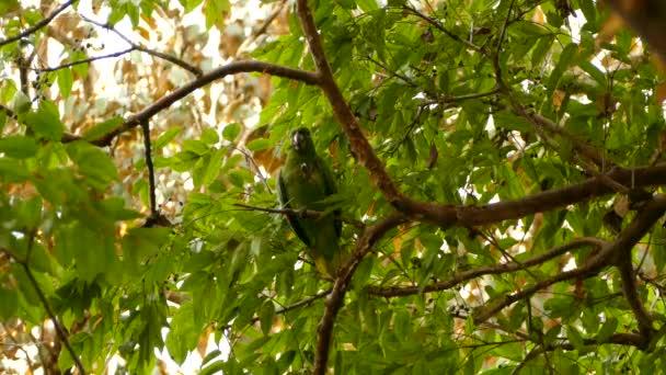 Papoušek žvýká větvičku, než ji pustí a spadne ze stromu