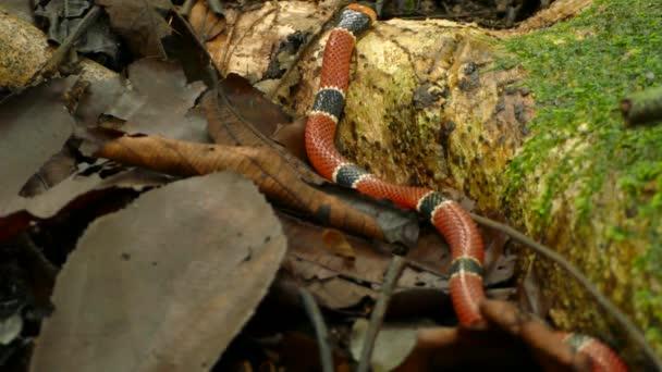 Jedovatý korálový had se pomalu plazí po dně džungle