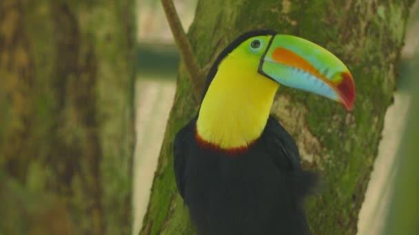Toucan péče s velkým zobákem, zatímco sedí na větvi blízko výstřel