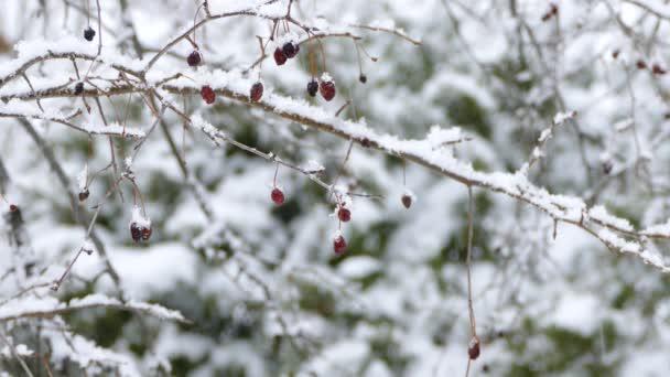 Schneefall mit roten Beeren im Fokus während des nordamerikanischen Winters