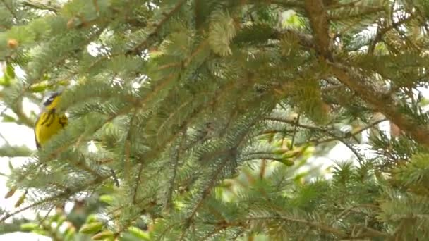 Feltűnő és rendkívül gyors kis madár magnólia pacsirta hangzó fenyőfa
