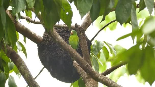 Papoušek čekající na větev v dešti na listnatém stromě