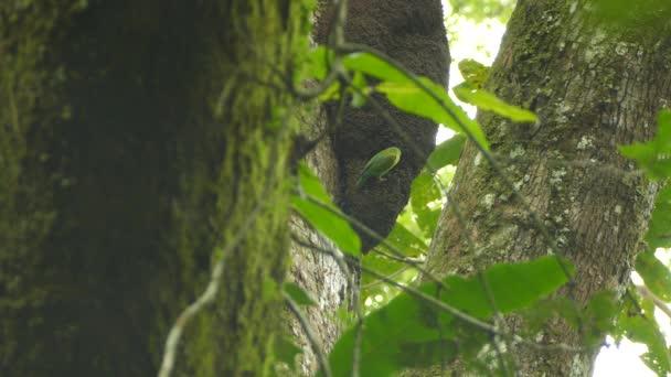 Blízké a široké pohledy na exotické papoušky v divočině usazené na hnízdě