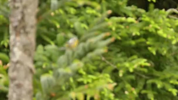Lenyűgözően gyors kis madár magnolia Warbler funkciók lenyűgöző szín design