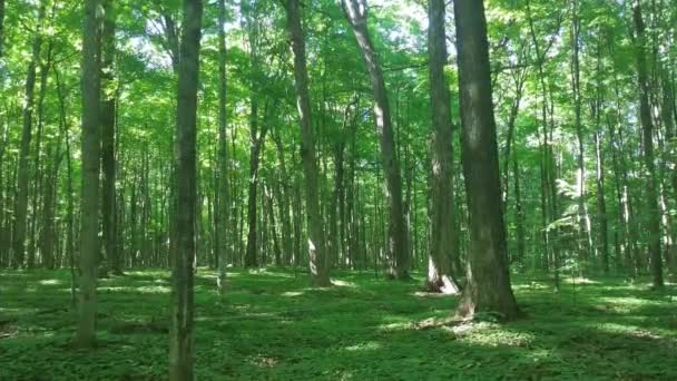 Beautiful Canadian forest filmed on steadicam while moving forward