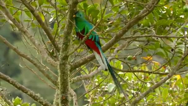 Dlouhý ocas z krásné Quetzal pták pohybuje v mírném větru v divočině