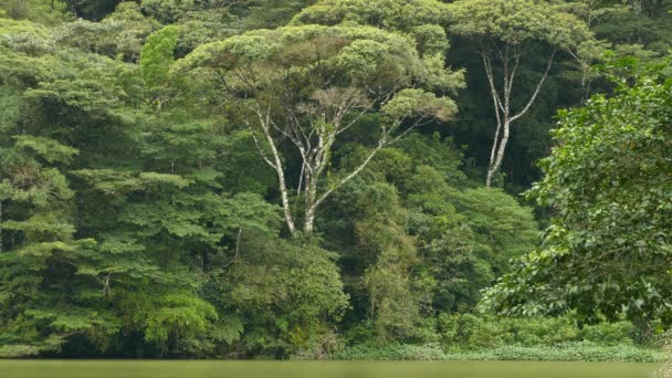 Dramatic tropical lake shore creating large mature trees to grow in jungle