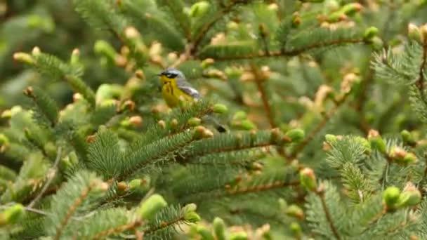 A magnólia warbler közelsége, ahogy a kamera felé repül lenyűgöző felvételen.