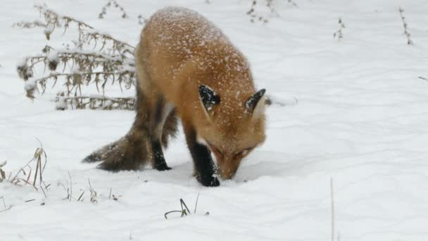 Fox feeding in snow during North American winter with a few dried branches