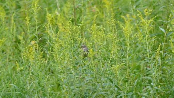Pták skrývající se ve vysoké kvetoucí trávě nakonec odletí
