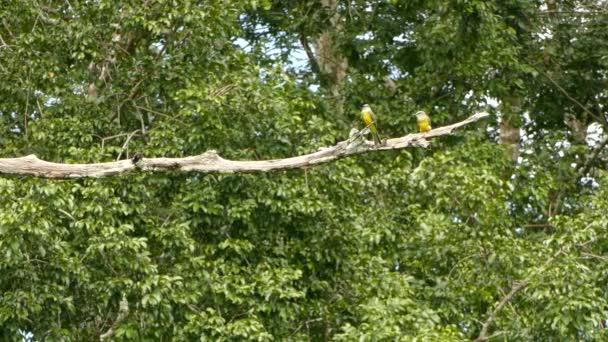 Egy pár egzotikus sárga madár üldögélt és szálltak fel egymás után.