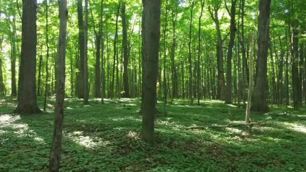 A walk in the deciduous forest of Canada on a sunny summer day