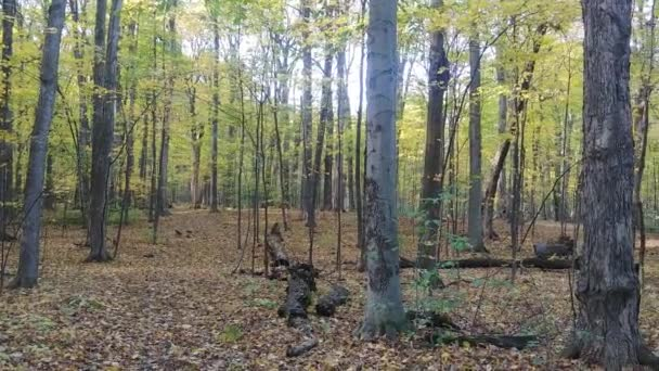 Gimbal mounted camera moving through trees following pileated woodpecker