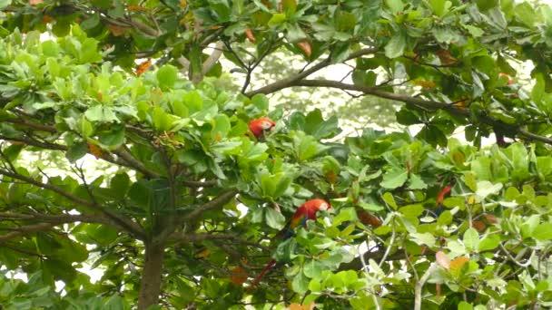 Flamboyant Macaw papoušci hledají a jedí zelené ovoce na divokém stromě