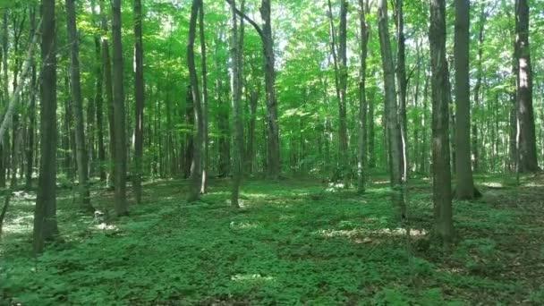 Gimbal mounted camera glides through sunny broadleaf forest