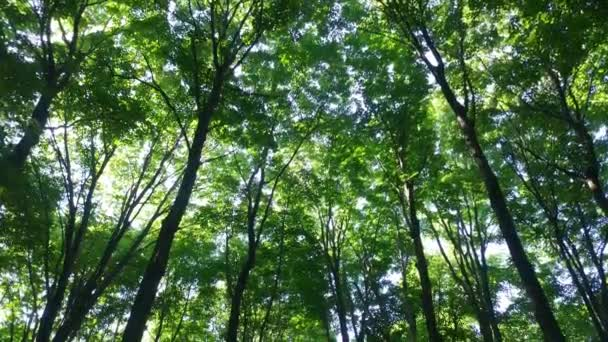 Canopy of trees in bright deciduous forest in Canada on steadicam